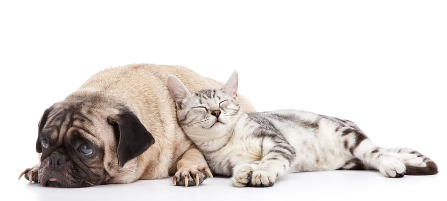 Fighting Like Cats and Dogs: How to Train a Dog to Live with a Cat?
