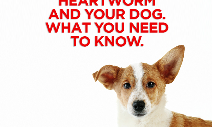 Heartworm and Your Dog. What You Need To Know.