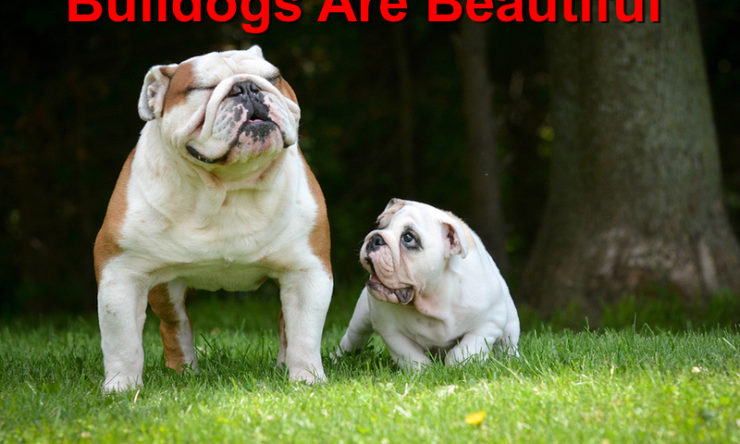 Bulldogs Are Beautiful